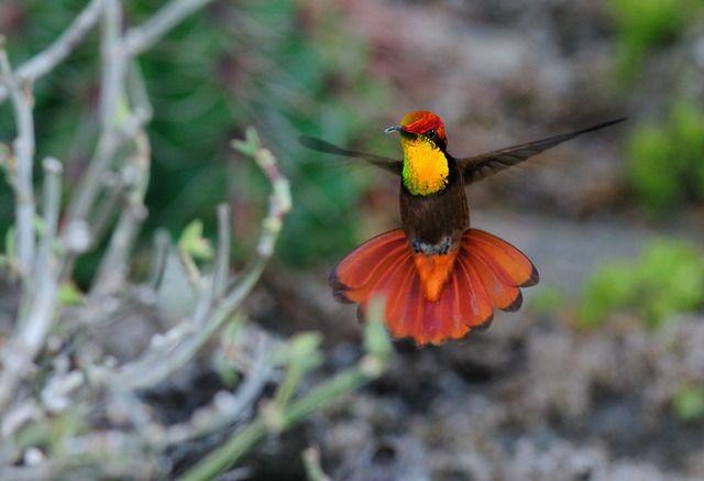 Foto beija-flor-vermelho (Chrysolampis mosquitus) por Aditi Jain Chaves | Wiki Aves - A Enciclopédia das Aves do Brasil