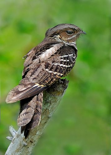 Large-tailed Nightjar | @ TP | YihYeong Chong | Flickr