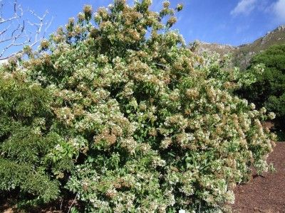 Dombeya kirkii decoction of the root is drunk as a treatment against yaws and abdominal pain.