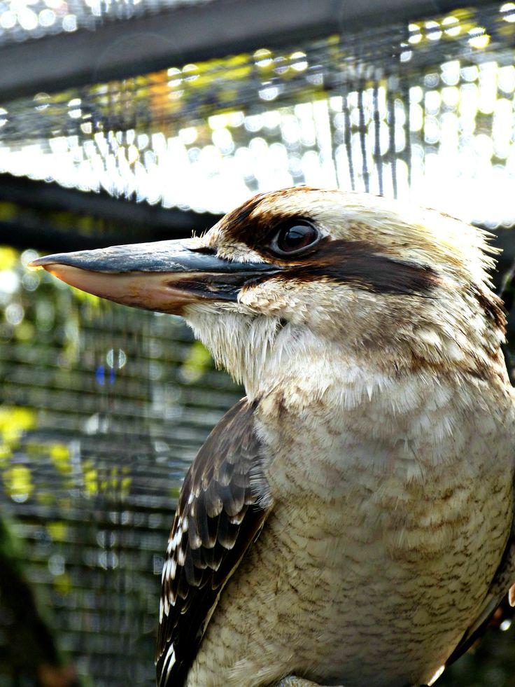 Jägerlieste - Lachender Hans oder auch Kookaburra genannt
