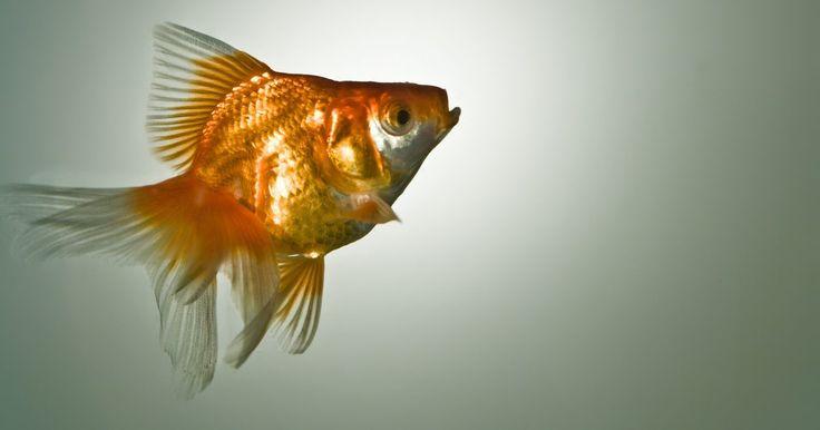 Cómo tratar peces hinchados. Un pez que presenta hinchazón, especialmente un abdomen dilatado, probablemente sufre de la enfermedad de la vejiga natatoria. Un saco lleno de gas que está situado hacia la cola del pez hace que éste flote. No obstante, la vejiga natatoria puede estar comprometida debido a estreñimiento, sobrealimentación, infección bacteriana o trauma, lo que ...