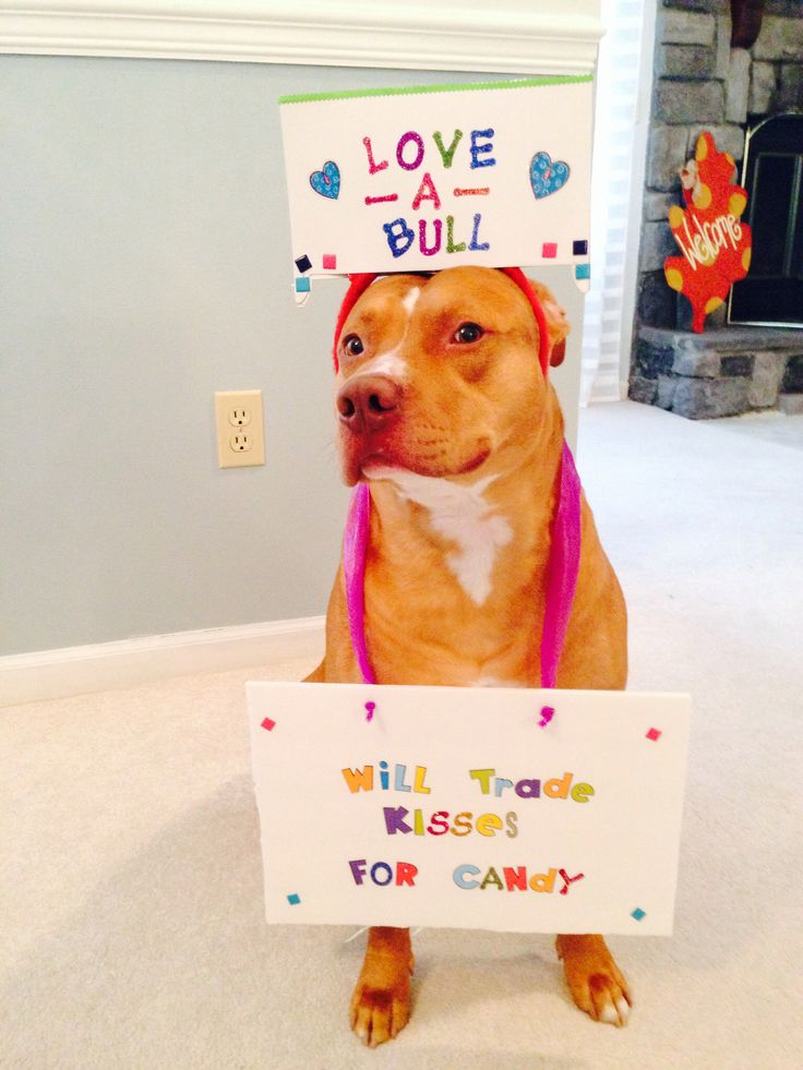 Pitbull Halloween costume candy kisses