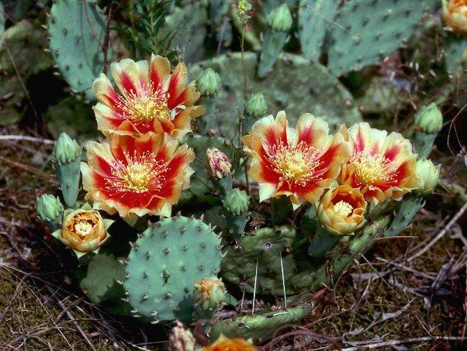 2908 best cactus de quase todas as variedades do mundo for Cactus variedades