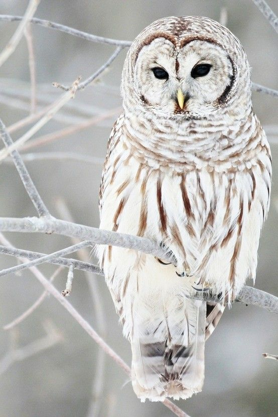 Barred Owl with unusually pale markings...Beautiful!