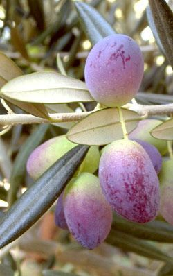 Picholine olives come from southern France ~ of the many, they are the best olives I've ever tasted