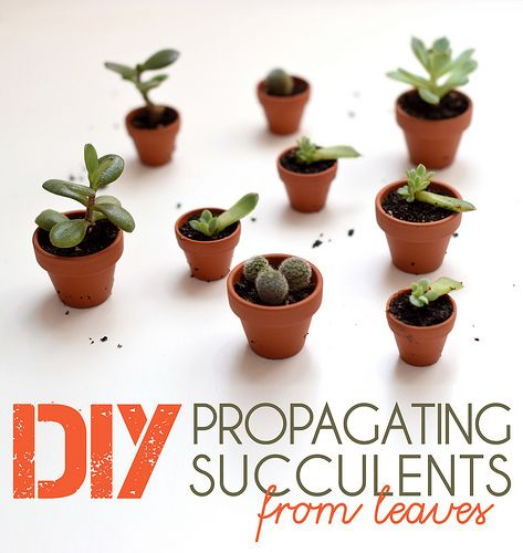 DIY – Propagating Succulents from Leaves   datailed tutorial for success   http://boldcolorglass.com #urbanjunglebloggers
