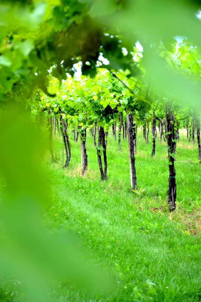 vine # wine # B Cà Bianca dell'Abbadessa