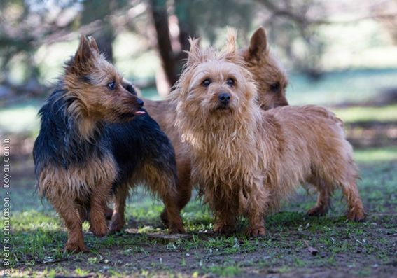 Australian Terriers were originally bred in Tasmania from various British breeds, including Scottish Terriers. The Australian National Kennel Council recognized the breed back in 1928. - See more at: http://www.royalcanin.ca/index.php/Your-Dog/Purebred-Dogs/Breed-Encyclopedia/encyclopediapage?breedid=896282968#sthash.1Cd6GOAe.dpuf