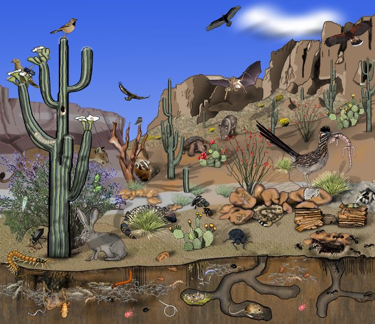 Chihuahuan desert food web