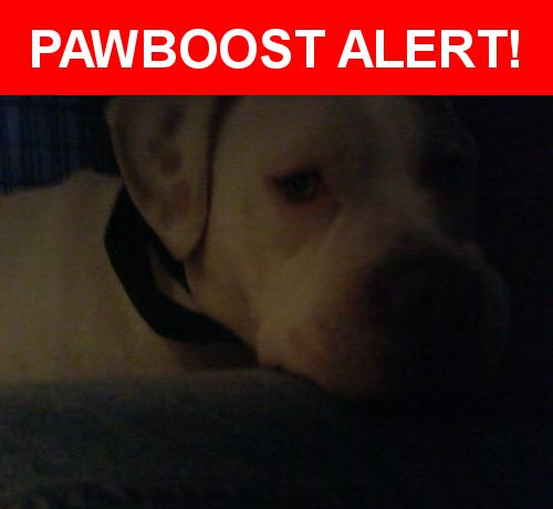 Is this your lost pet? Found in Whittier, CA 90605. Please spread the word so we can find the owner!  all white with brown light patch on face male well behaved well tooken care of well mannered cry  baby wants to go home big boy about 75/90 lbs grey eyes   Nearest Address: Near gunn and painter