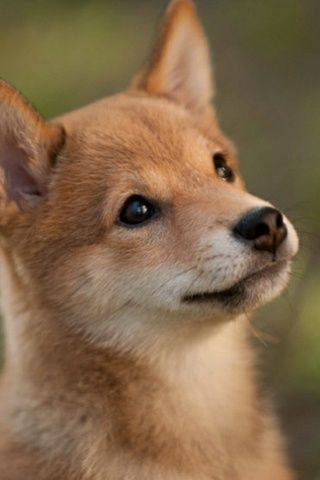 Shiba Inu. Is this not just the cutest little face! I can't wait to have my own!