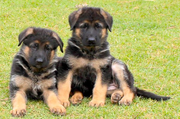 German Shepherd Puppy For Sale In Delhi With Images German
