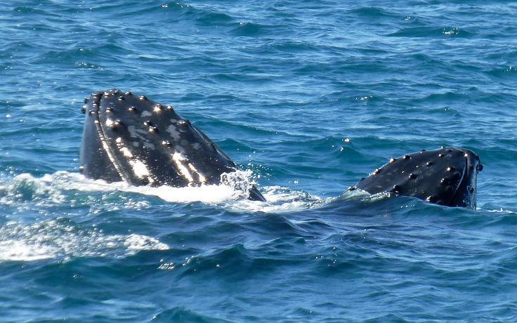 The sea around us was boiling as the large pod of whales circled our boat…