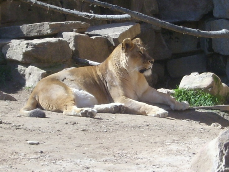 This is a regal Lioness.