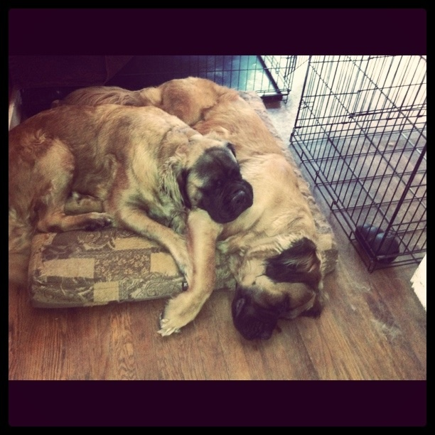 The pups doing what they do best...sleep.