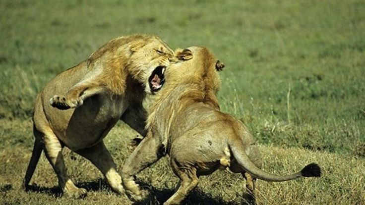 fighting lion - Google Search