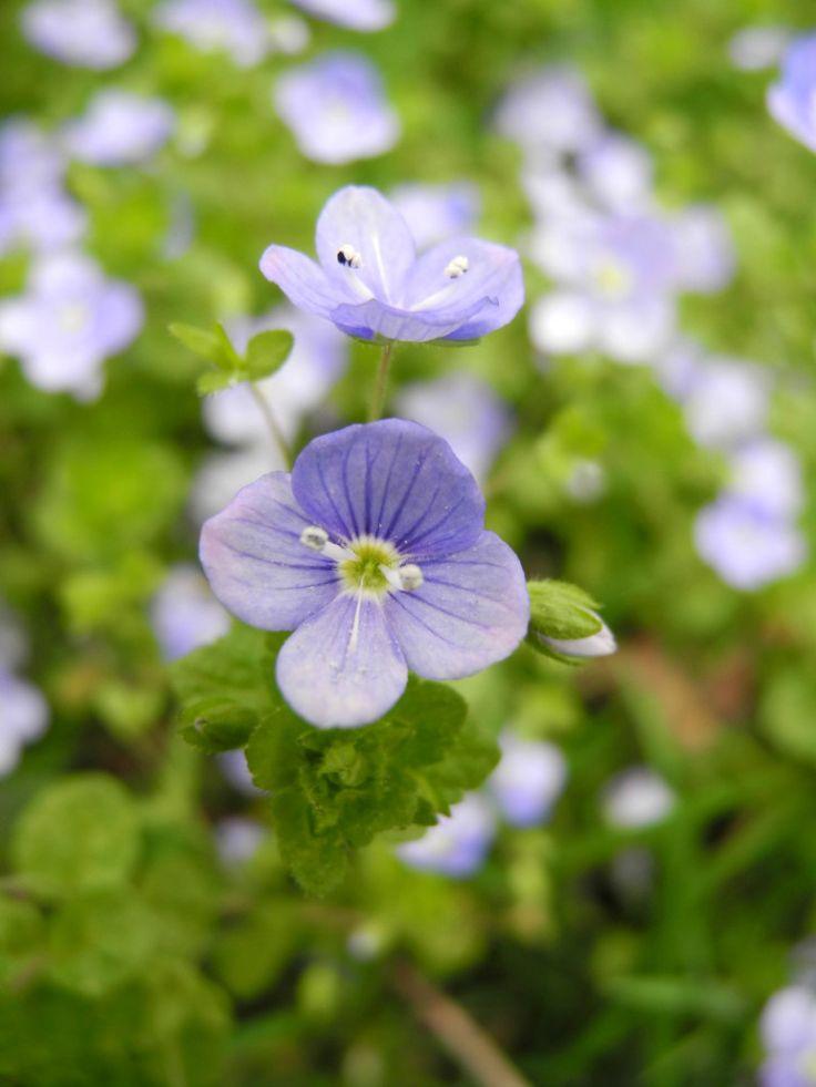 Referenzfotos und Malvorlagen - Blumen - Was soll ich malen? Veronica filiformes
