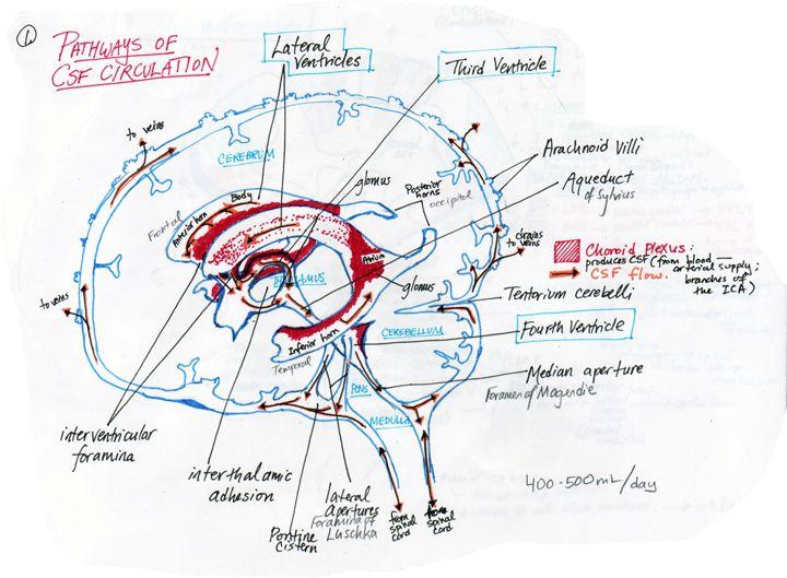 Human Anatomy Study Tips - ThoughtCo