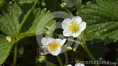 #strawberrys blossom in the garden