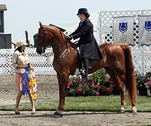 "- The American Saddlebred is a horse breed from the United States. Descended from riding-type horses bred at the time of the American Revolution, the American Saddlebred includes the Narragansett Pacer, Canadian Pacer, Morgan and Thoroughbred among its ancestors. Developed into its modern type in Kentucky, it was once known as the ""Kentucky Saddler"", and used extensively as an officer's mount in the American Civil War. In 1891, a breed registry was formed in the United States."