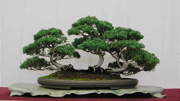 Beautiful layout for this group planting - Moyogi style with exposed roots. German Bonsai