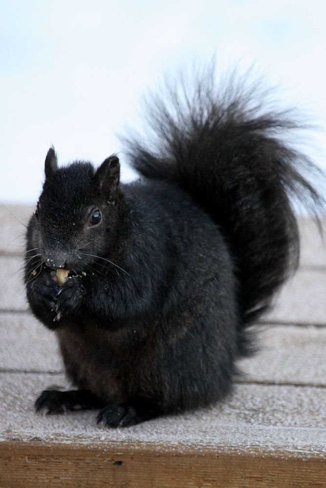 Black Squirrels were imported to Kent, OH from Canada. Love seeing Black Squirrels in Leland.