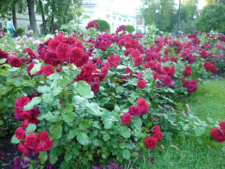 Roses in the Hermitage garden