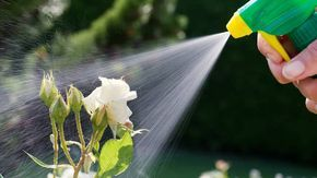 Prinášame vám recepty na prírodné postreky. Rastliny si v boji proti škodcom totiž dokážu pomôcť navzájom.