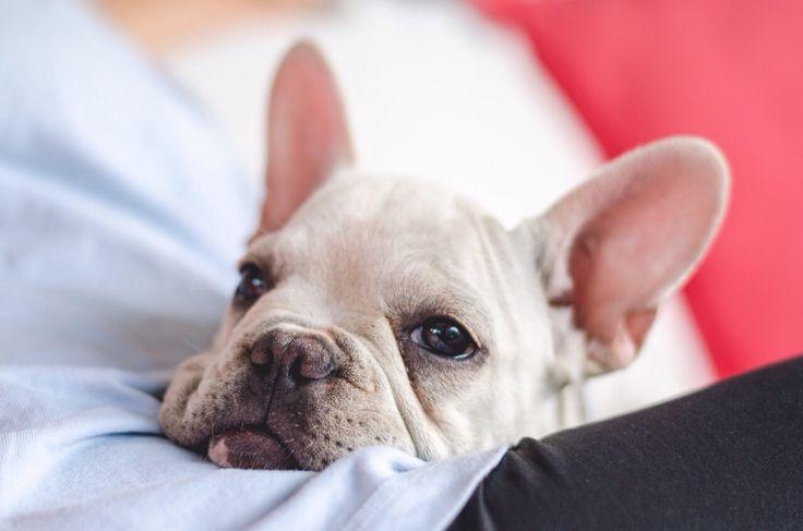 Igor - bulldog frances - frenchi
