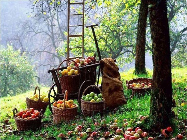 Picking apples off trees in Zagora (Pelion mountain) ~ Magnesia