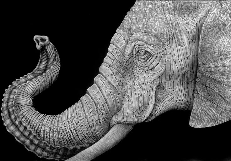 realistic elephant face drawing - Google Search