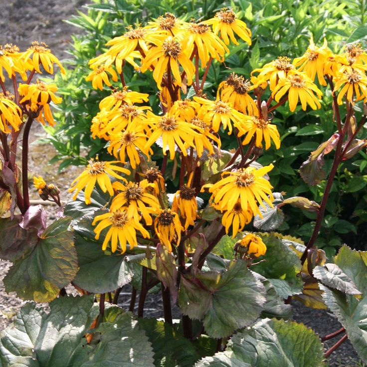 Ligularia dentata 'Midnight Lady' (Large Plant) - Perennial & Biennial Plants - Thompson & Morgan