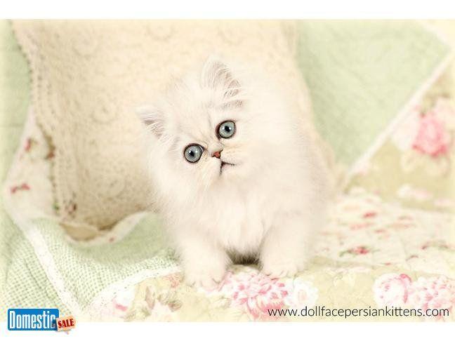 Persian Kittens For Sale Persian Kittens For Sale Persian Kittens Persian Cat