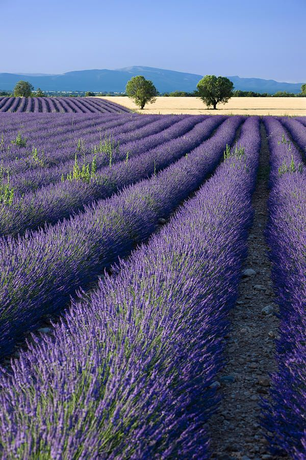 Rows of Lavender and wheat fields converge along the Valensole Plateau, Provence France