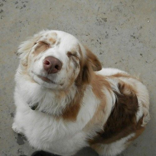 Red Merle Australian Shepherd, this makes me smile. Cannot wait till I get one. :)