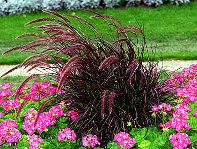 18 best images about burgundy perennials on pinterest for Ornamental grass with purple plumes