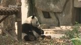 IPanda Live--Live Webcam 24hr a day of tons of panda fun.