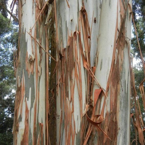 Eucalyptus Blue Gum Tree Seeds Eucalyptus Globulus 100 Seeds