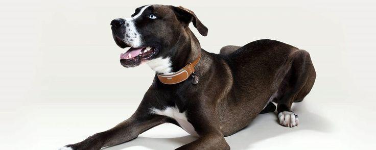Coleira inteligente para cães oferece GPS, lanterna LED e dicas fitness - TecMundo