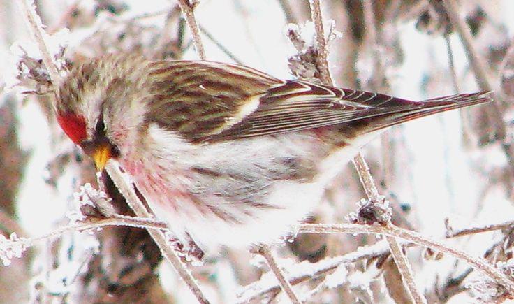 зимние птицы  -  Чечетка.