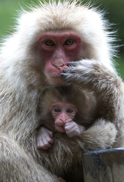 This is my favorite animal of all time especially this monkey their soo cute and adorable