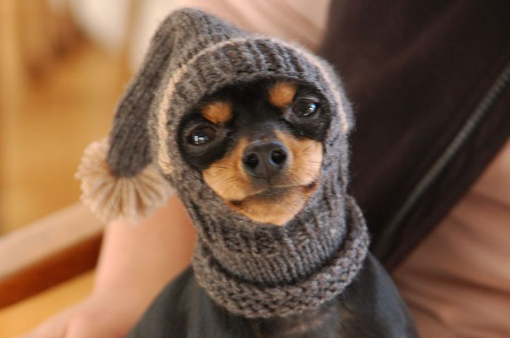 Chihuahua in a snoodie