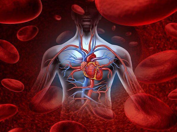 Кровеносная система человека.