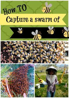 How to Capture a Swarm of Bees in your backyard l Homestead Lady. Not a technique I've tried, but hopefully this helps someone.