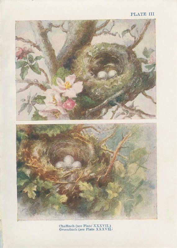 1906 Antique Tiny Bird Nest Picture 3 Egg by MarcadeVintagePrints