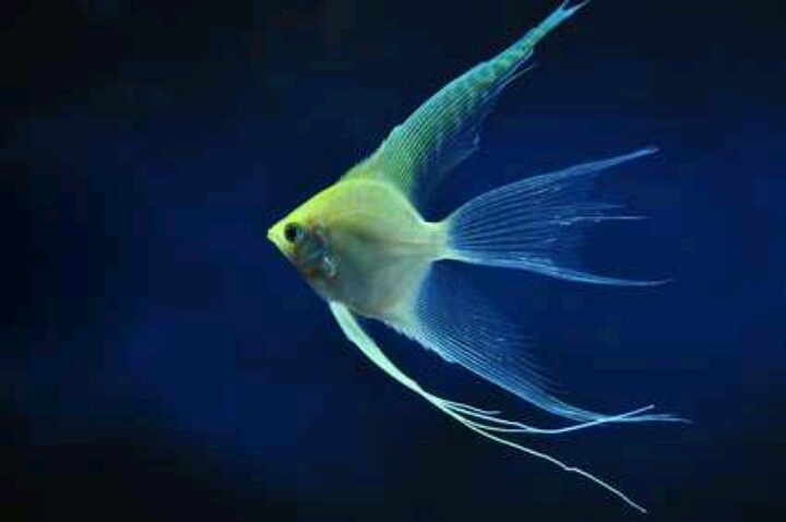 78 best images about angelfish on Pinterest