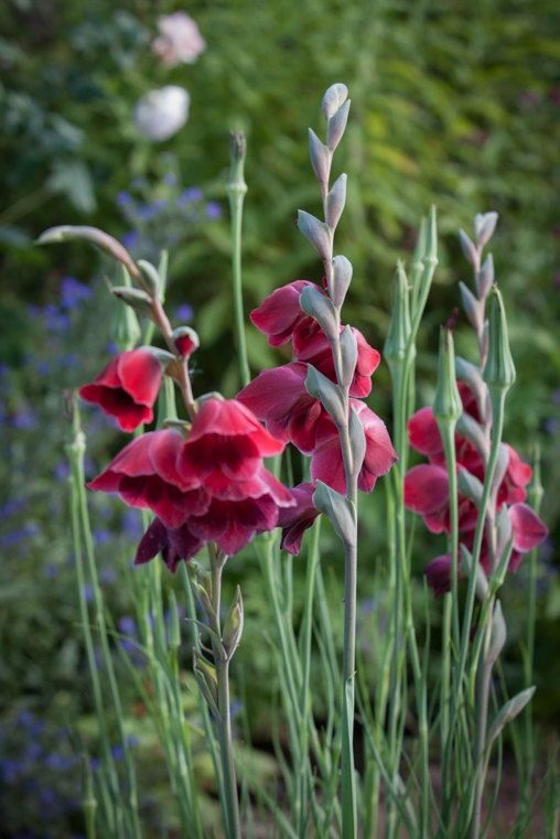 Gladiolus papilla 'Ruby' in the cottage garden at Allt-y-bela. Photo Britt Willoughby Dyer