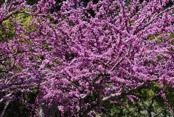Top Flowering Trees for Texas: Early Spring Bloomers for ...