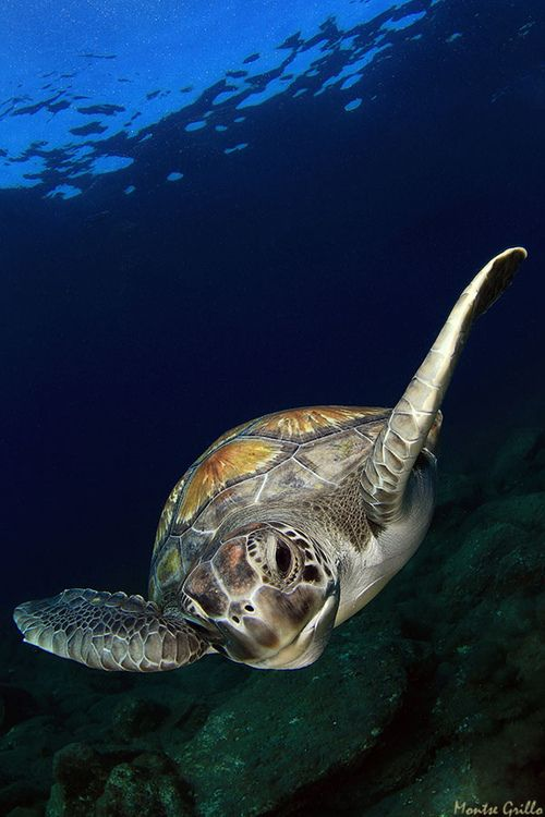 Montse Grillo | Sea Turtle
