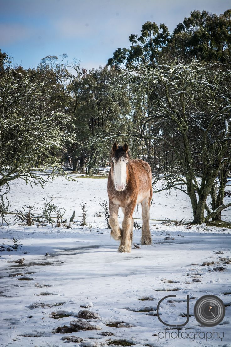 #CJO #photography #photographer #rural #country #australia #NSW #snow #cold #winter #hanging #rock #track #road #forest #draft #horse